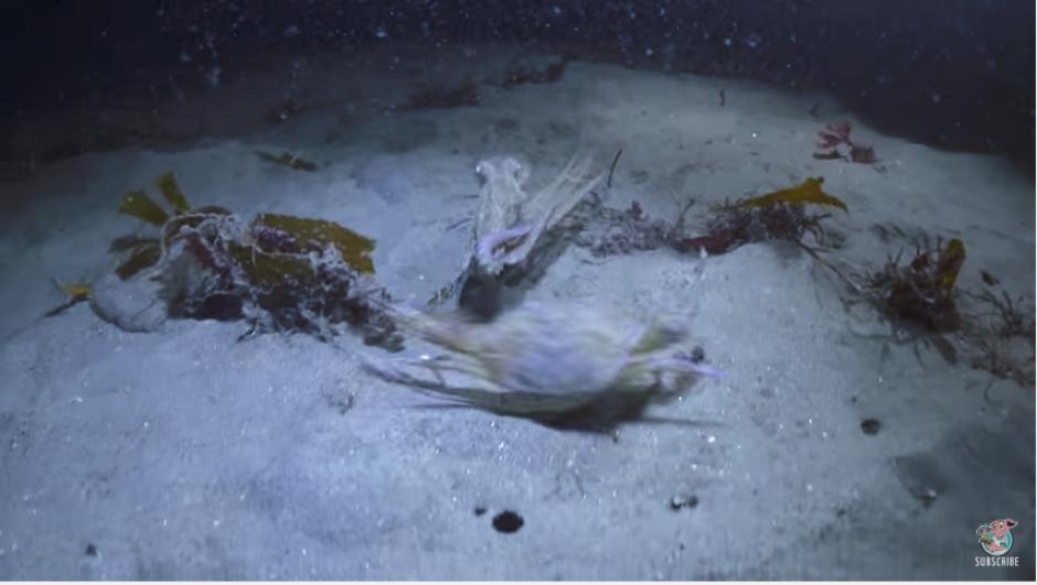 Parece que todo está perdido para el cangrejo que se ve acorralado. (Captura Youtube)