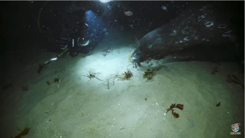 Sin embargo, una foca llega para devorarse al pulpo, salvando la vida del cangrejo. (Captura Youtube)