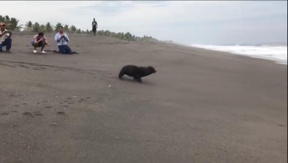 El lobo marino lleva un microchip para monitorear sus movimientos. (Captura Video)