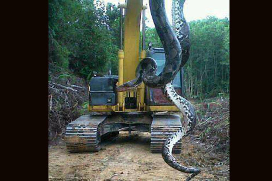 Serpiente de 10 metros en el Estor, Izabal foto