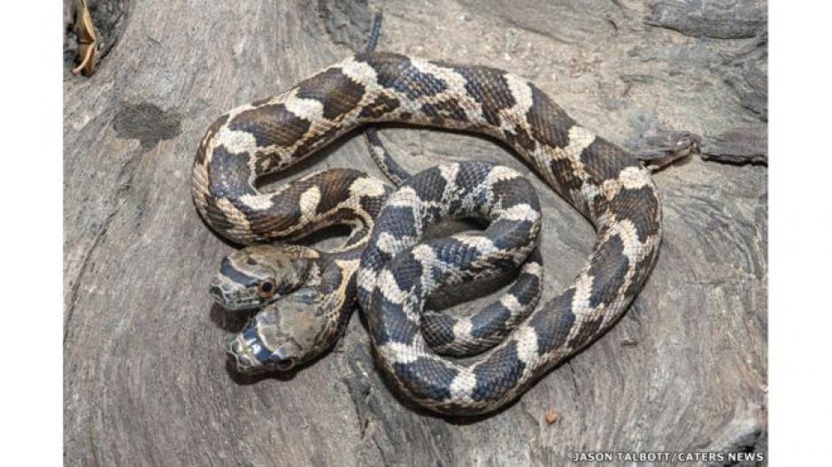 El reptil fue descubierto en una zona silvestre de Kansas. (Foto: Jason Talbott )