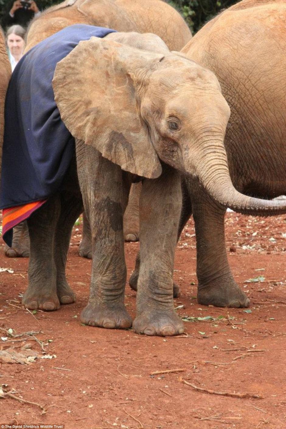 Sokotei  fue rescatado por cuidadores de un santuario de vida silvestre. (Foto: Daily Mail)