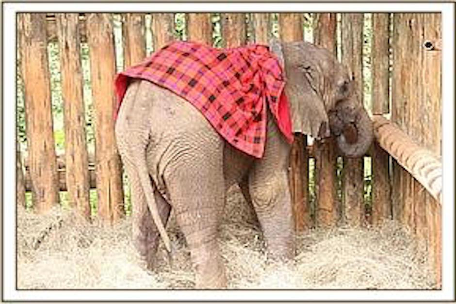 El pequeño elefante convive con otros elefantes que también han quedado huérfanos. (Foto: sheldrickwildlifetrust.com)