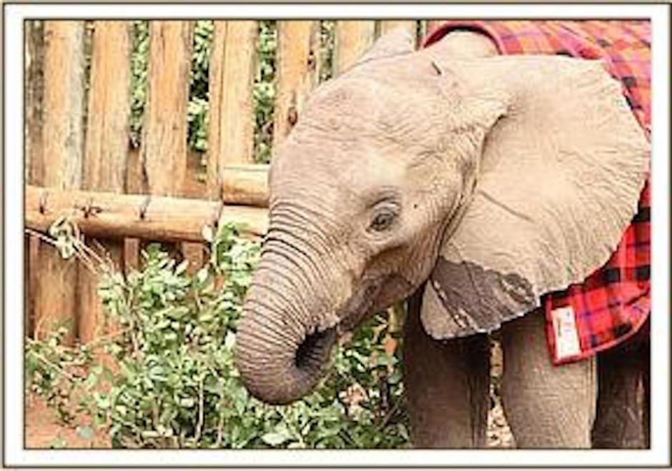 Sokotei tiene actualmente más de dos años de edad. (Foto: sheldrickwildlifetrust.com)