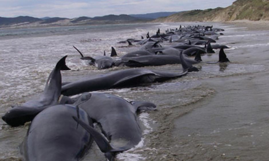 Alrededor De 200 Ballenas Piloto Se Encuentran Varadas En Una Playa Nueva Zelanda