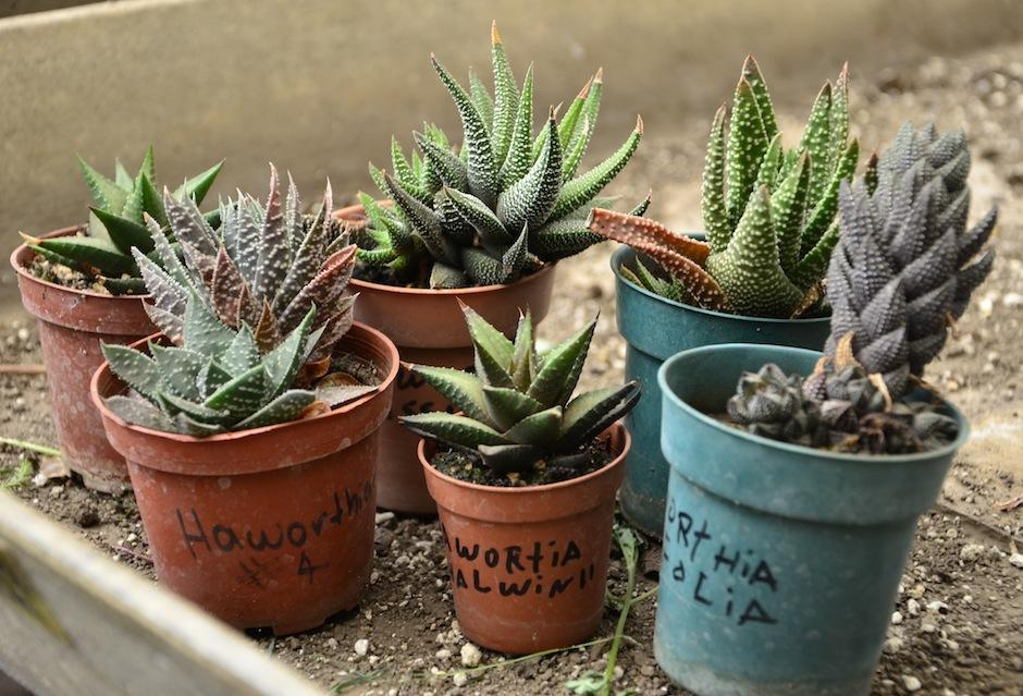 Raro Haworthia o espinosas son muy populares. (Foto: Selene Mejía/Soy502)