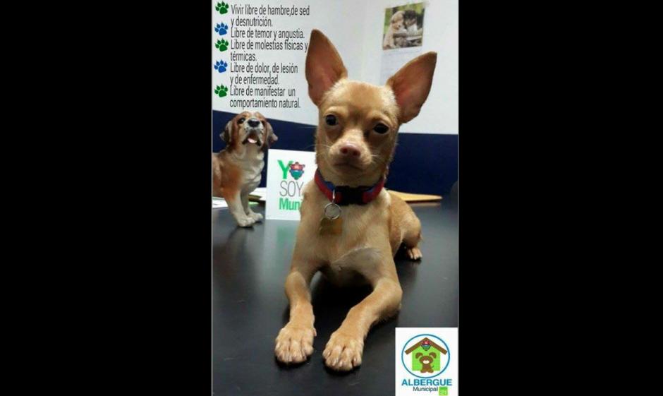 Taquito es un perrito que fue rescatado de las ventas ilegales de animales en Las Charcas. (Foto: Albergue Municipal de Mascotas)