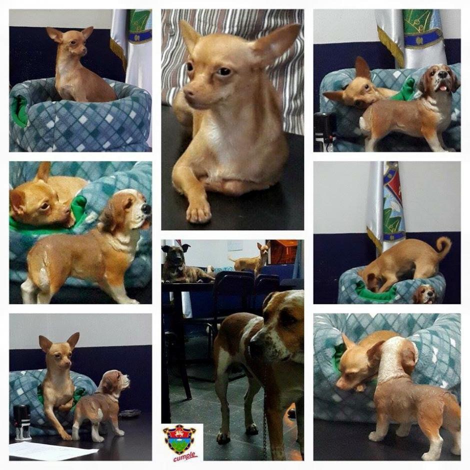 Taquito y otros dos perritos decomisados estaban severamente enfermos, pero con cuidados médicos lograron sobrevivir. (Foto: Albergue Municipal de Mascotas)