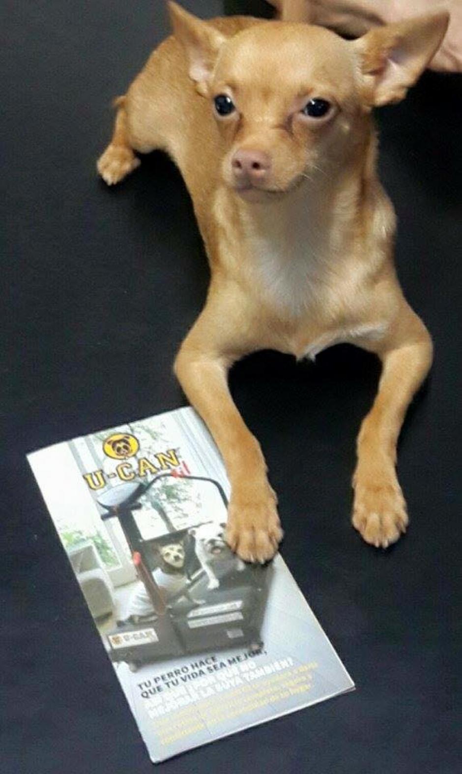 El famoso chihuahua asiste a su entrenamiento religiosamente. (Foto: Albergue Municipal de Mascotas zona 21)