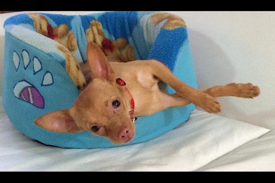 """Taquito fue el único sobreviviente de los 3 perritos rescatados, pronto, su """"dueño"""" lo reclamó como mercancía, empezando una disputa legal con la Municipalidad. (Foto: Albergue Municipal de Mascotas zona 21)"""