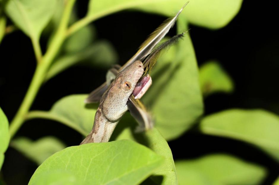 Esta especie está en peligro de extinción ya que hay solo 12 de este tipo en las islas del Caribe. (Foto: taringa.net)