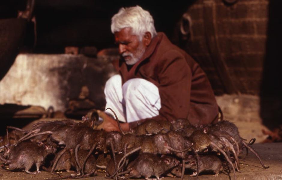 En el Templo de las Ratas ellas son sagradas. (Foto: mundoslejanos.com)