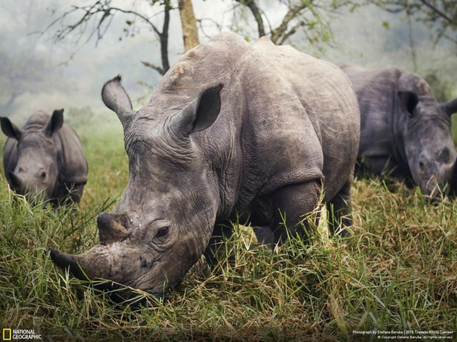 Esta es una imagen de un grupo de rinocerontes blancos, especie en peligro de extinción. La misma fue conseguida en el Santuario de Rinocerontes Ziwa, en Uganda. (Foto: Stefane Berube/National Geographic)