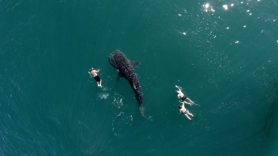 En la bahía La Paz, Baja California cada año, cientos de tiburón ballena llegan a esas aguas para alimentarse. Y muchos turistas aprovechan para poder contemplar de cerca a estos animales. (Foto: postandfly/dronestagram)