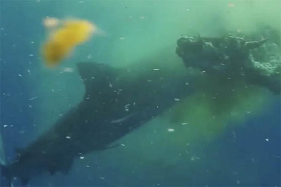 En el agua, la vaca fue una presa fácil para el tiburón. (Foto: dailystar.co.uk)
