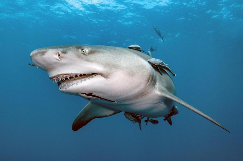 Muchos buceadores han buscado sin éxito, retratar a Snooty como han bautizado al tiburón. (Foto: The Sun)