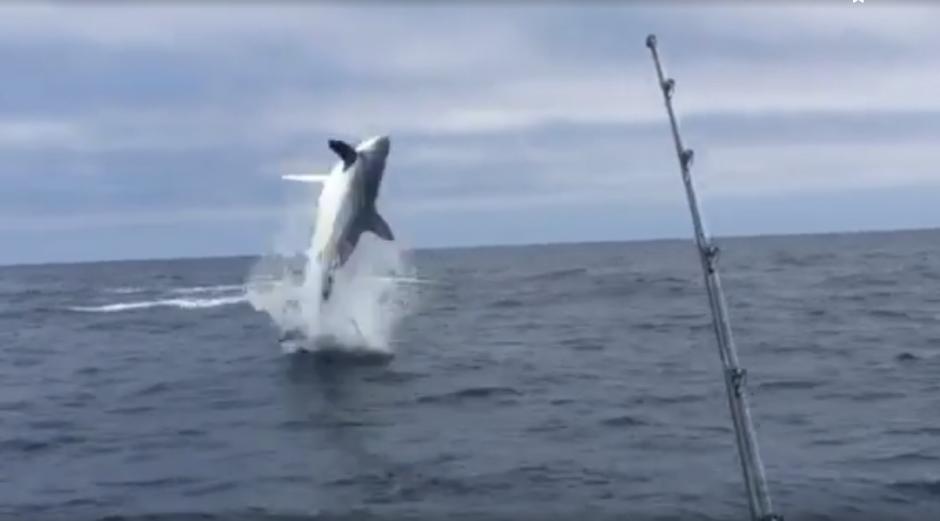 Este comportamiento es usual en delfines, pero no en tiburones. (Imagen: Captura de pantalla)