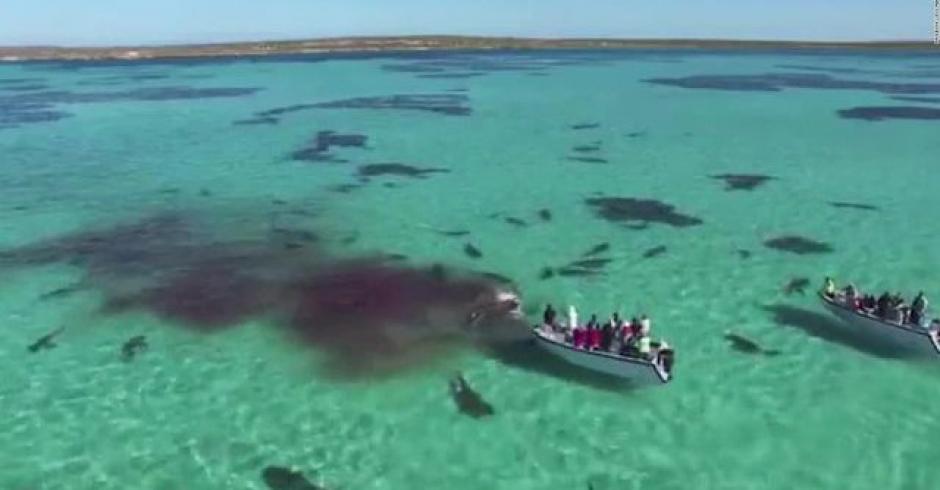 Unos 70 tiburones devoraron a un ballena solitaria. (Foto: Captura youtube)