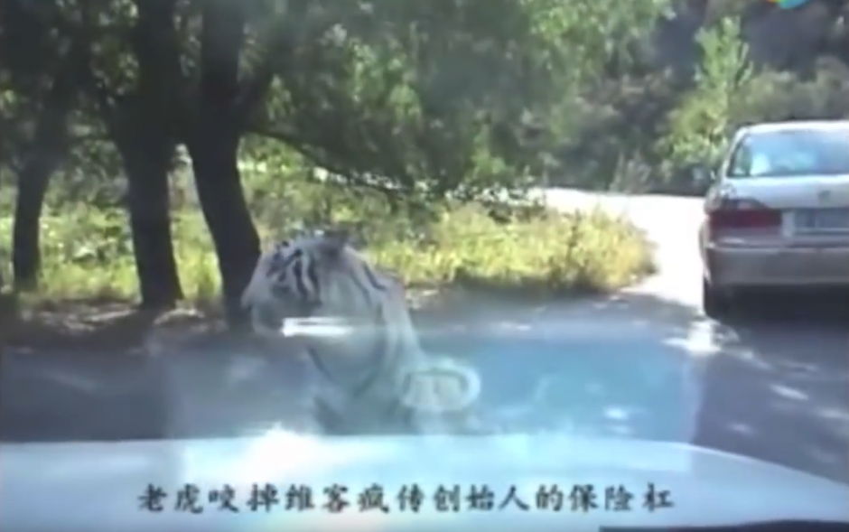Un tigre observa un carro que llega al lugar. (Captura de pantalla: WorldHottestNews/YouTube)