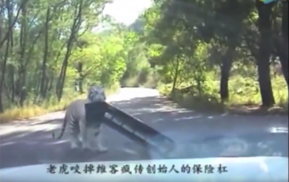 El tigre le arranca el parachoques al automóvil. (Captura de pantalla: WorldHottestNews/YouTube)