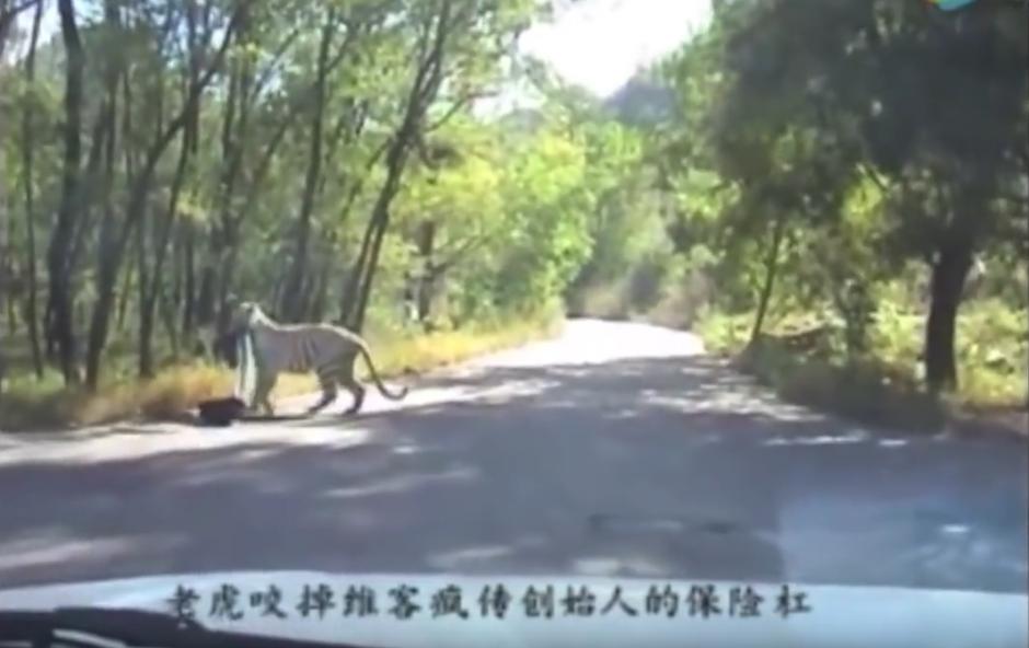 El tigre se encamina a la selva con su juguete nuevo. (Captura de pantalla: WorldHottestNews/YouTube)