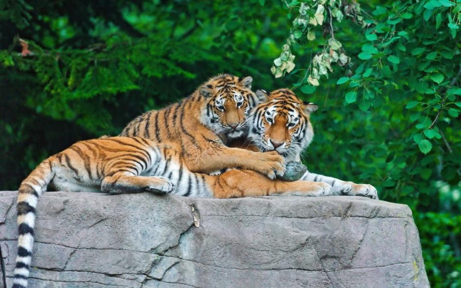Los tigres son una de las especies más amenazas a extinguirse. (Foto: Astrolabio)