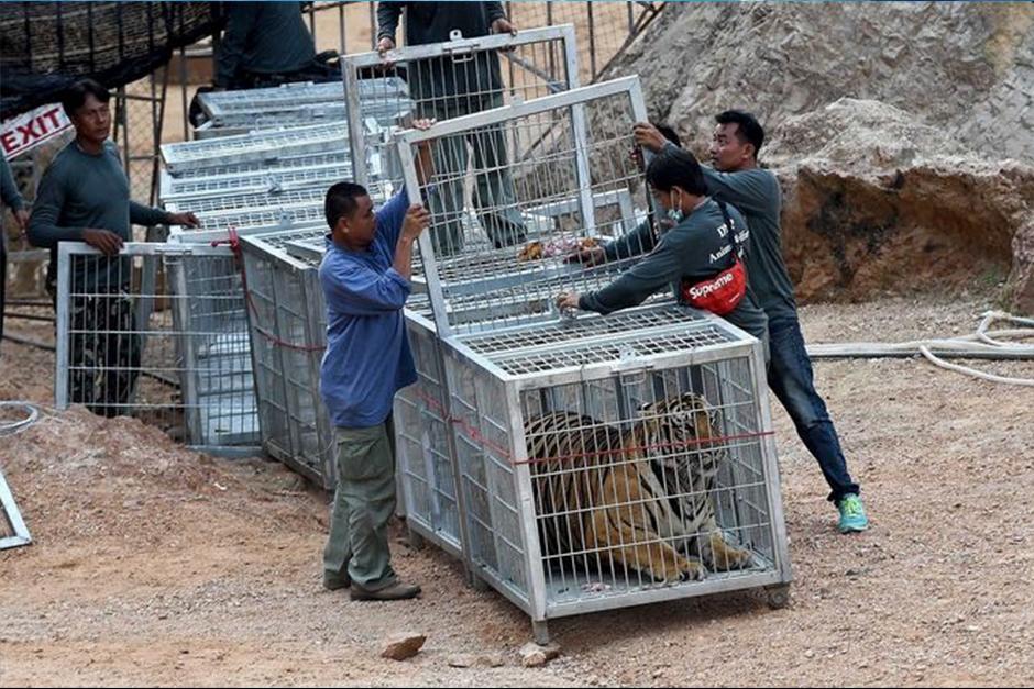 Hasta hoy ya se han rescatado 20 tigres. (Foto: EFE)
