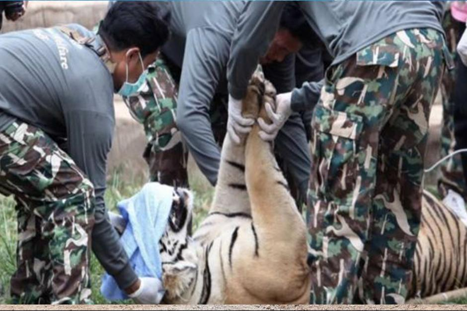 Los equipos del Departamento de Conservación de Parques Naturales indicaron que ayer sedaron y retiraron a 7 ejemplares. (Foto: EFE)
