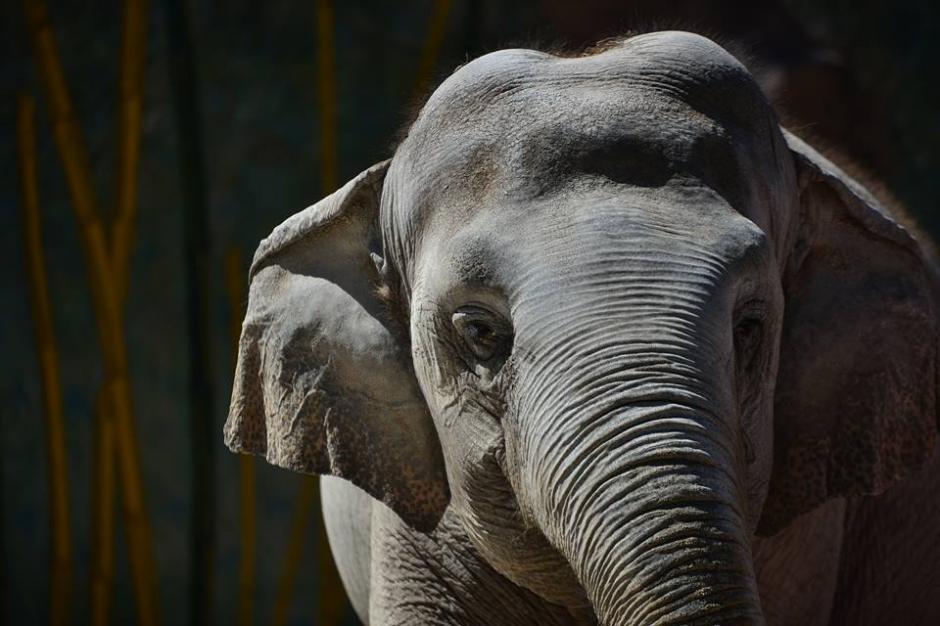 La elefanta más famosa del país cumplió 55 años. (Foto: Wilder López/Soy502)