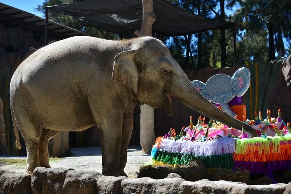 La elefanta cumplió 55 años y se lo celebraron en el zoológico La Aurora.  (Foto: Wilder López/Soy502)