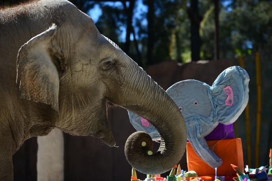 Trompita fue agasajada por los visitantes del zoológico. (Foto: Wilder López/Soy502)