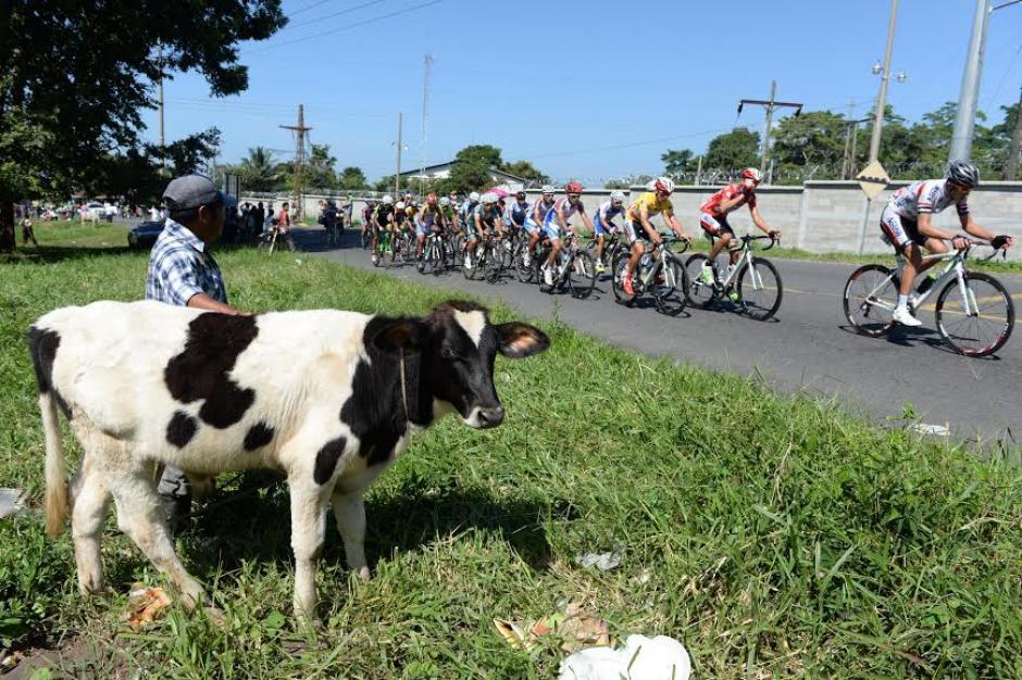 Hasta el ganado pudo apreciar el paso de la caravana ciclística