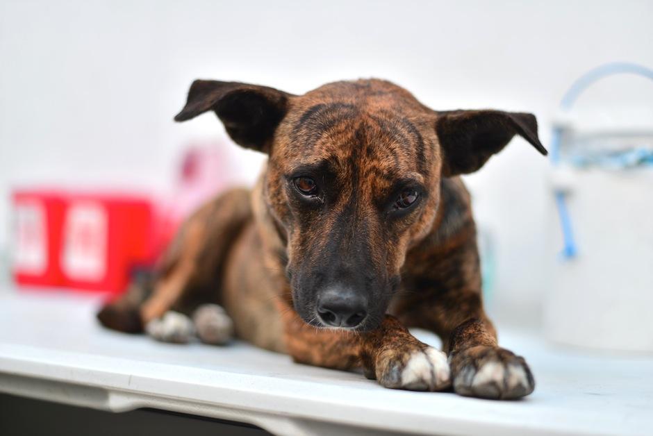 Las visitas regulares al veterinario previenen males más serios. (Foto: Wilder López/Soy502)