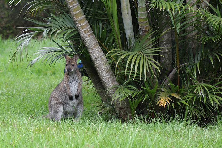 Los Wallabies de cuello rojo que son los primos hermanos de los canguros. (Foto: Alejandro Balám/Soy502)