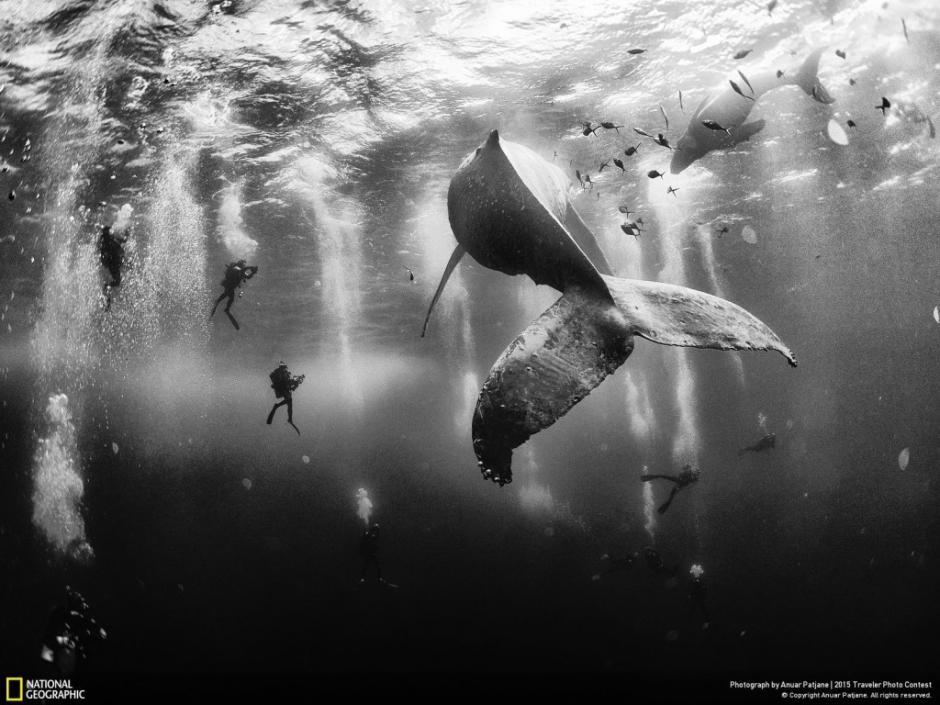 Buzos comparten un momento con una ballena jorobada y su cría en las aguas cercanas a las islas Revillagigedo en México. (Foto: Anuar Patjane/National Geographic)