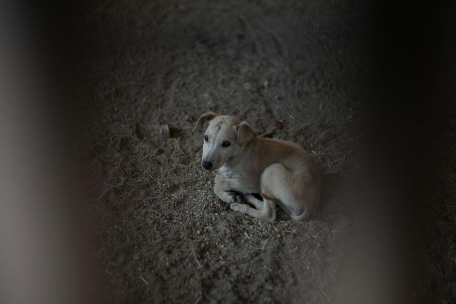 El perro se quedará en la finca indefinidamente. (Foto: Wilder López/Soy502)