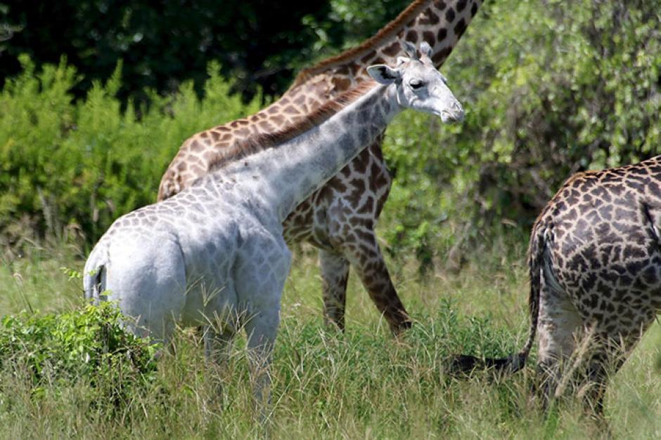 Esta jirafa blanca ha sorprendido a cientos de internautas por su color extraño para su raza. (Foto: boredpanda.com)