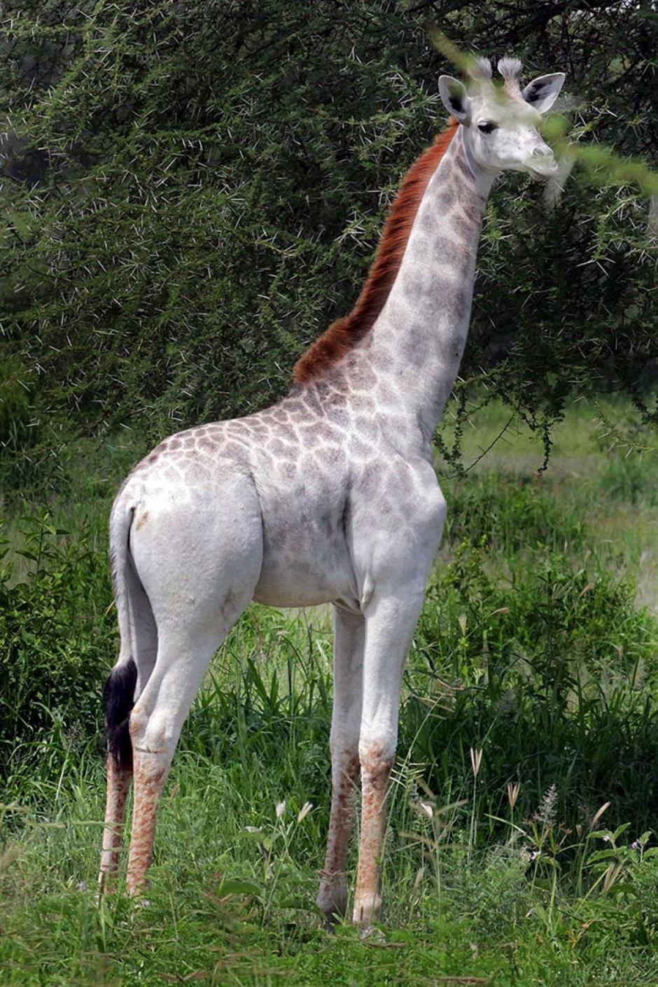 La impresionante jirafa blanca debe su color a una enfermedad llamada leucismo, que le provoca el color en su pelaje. (Foto: boredpanda.com)