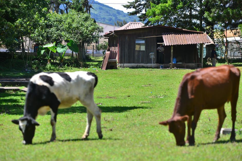 Donde ahora pastan vacas será construido un parque conmemorativo para las víctimas de la catástrofe en El Cambray II. (Foto: Wilder López/Soy502)