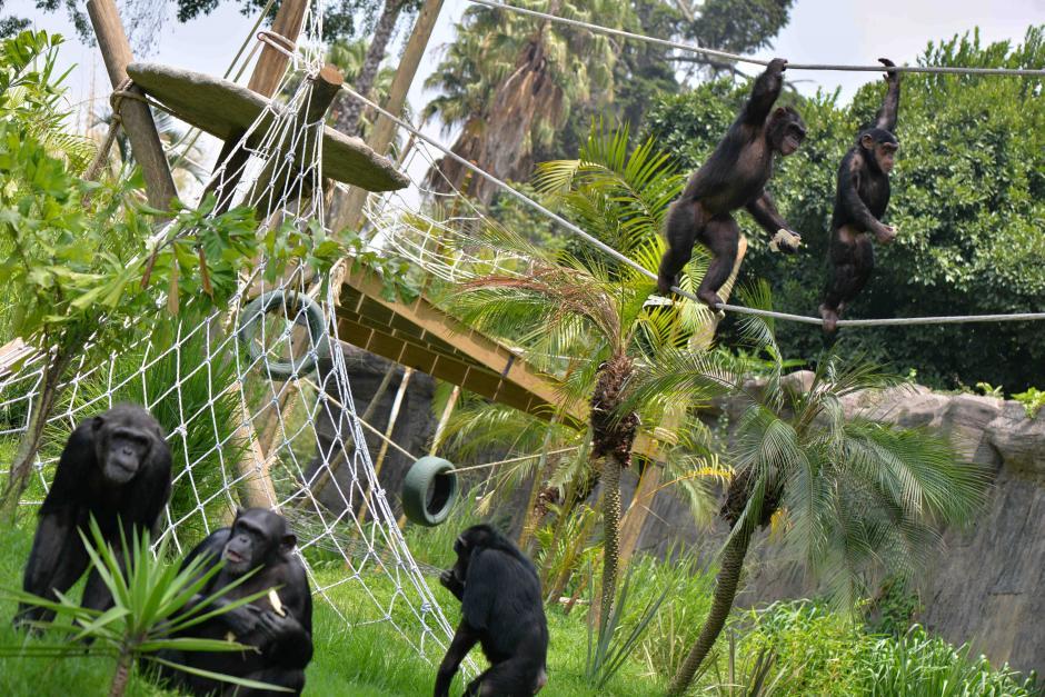 Una familia de chimpancés  fue donada por el Zoológico Kolmraden de Suecia. (Foto: Wilder López/Soy502)