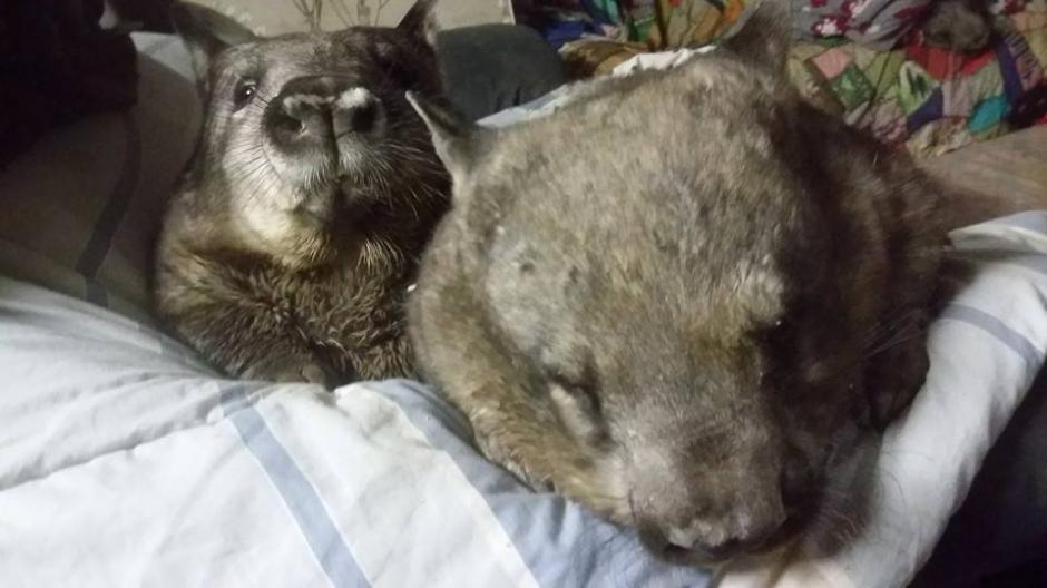 Los wombats tienen una similitud con los osos. (Foto: Facebook/WAO)