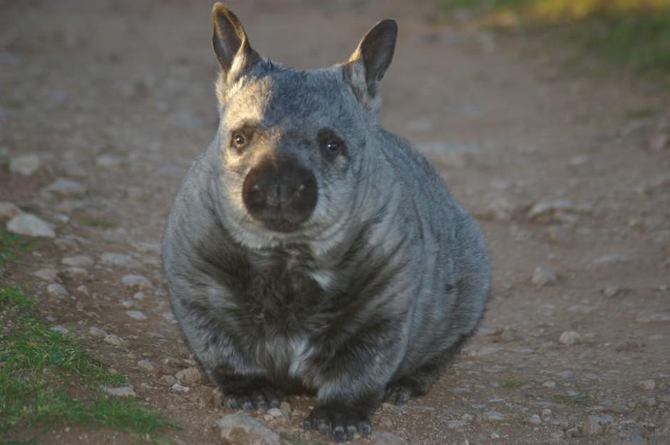 Estos marsupiales únicamente se encuentran en Australia. (Foto: Facebook/WAO)