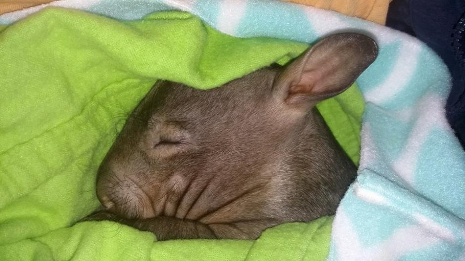 Desde su nacimiento, los wombats reciben cuidados especiales. (Foto: Facebook/WAO)