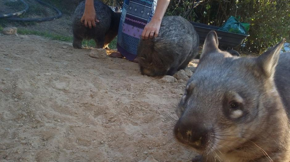 Los wombats son herbívoros y viven en madrigueras. (Foto: Facebook/WAO)