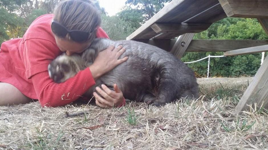 En el santuario, los wombats son cuidados con mucho cariño y dedicación. (Foto: Facebook/WAO)