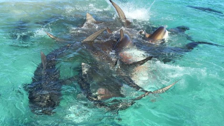 En la imagen se observa como los hambientos tiburones devoran a la ballena. (Foto: Captura youtube)