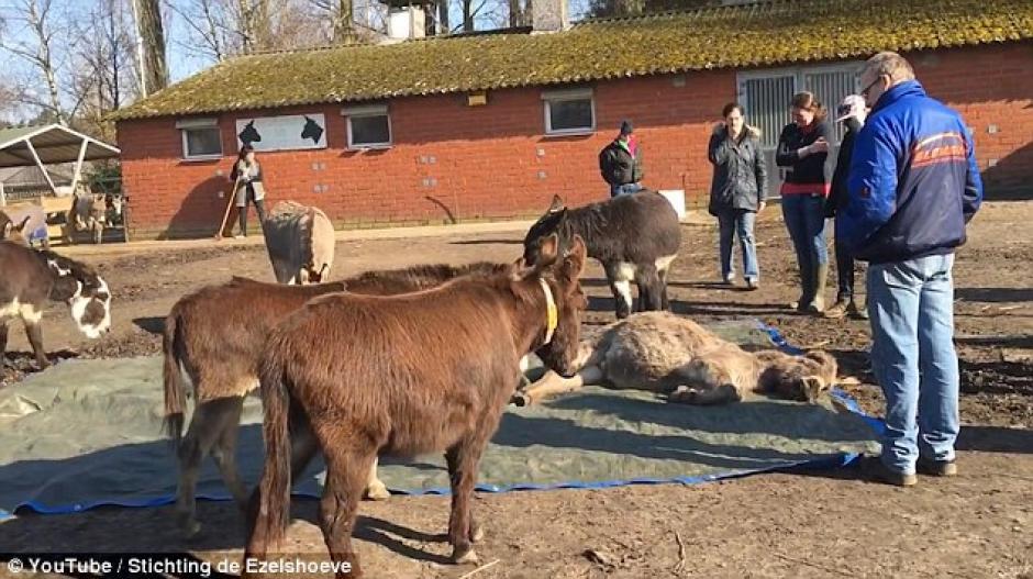La dueña de la granja relata que así reaccionan los burros cada vez que muere un compañero. (Foto: Captura de YouTube)