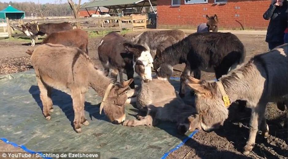Los burros se acercan a lamer y oler a su compañero para intentar revivirlo. (Foto: Captura de YouTube)