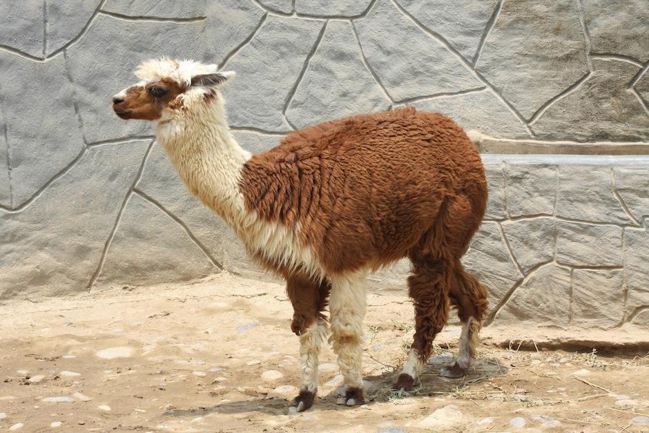 El Parque Zoológico Huachipa, de Lima Perú, cuenta con 300 especies, un total de mil habitantes. (Foto: zoochat.com)
