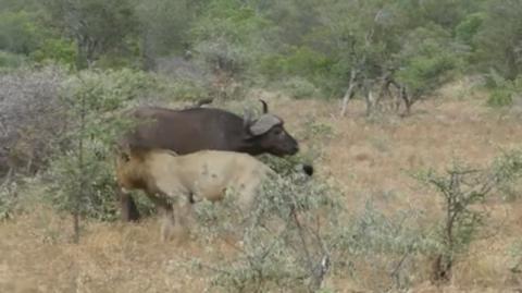 Leones atacan a un búfalo, pero no se esperaban esta aparición